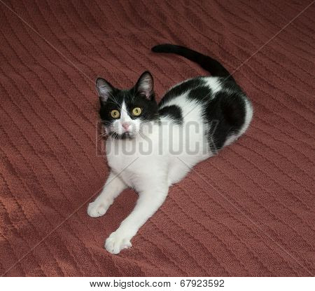 Black And White Cat Lying On Brown