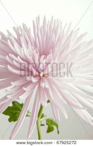 High Key Pink Chrysanthemum
