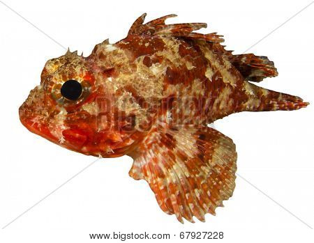 Scorpionfish isolated on white background