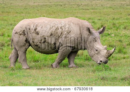 Young white rhinoceros (Ceratotherium simum), Lake Nakuru National Park, Kenya