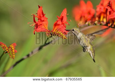 Annas Hummingbird Feeding On Crocosmia Flowers