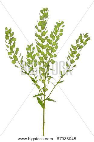 Thlaspi Arvense Plant