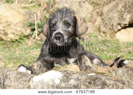 Nice Irish Wolfhound Puppy In The Garden