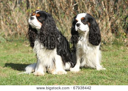 Two Cavalier King Charles Spaniels In The Garden