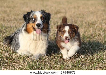 Beautiful Australian Shepherd Dog With Its Puppy
