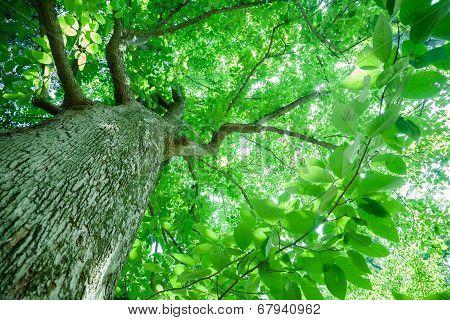 Cucumber Magnolia