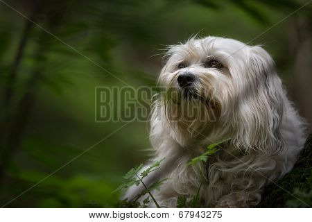 Havanese In The Countryside