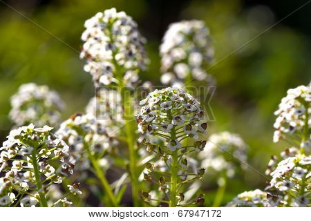 Sweet Alyssum (lobularia Maritima), Is A Species Of Low-growing Flowering Plant In The Family Brassi