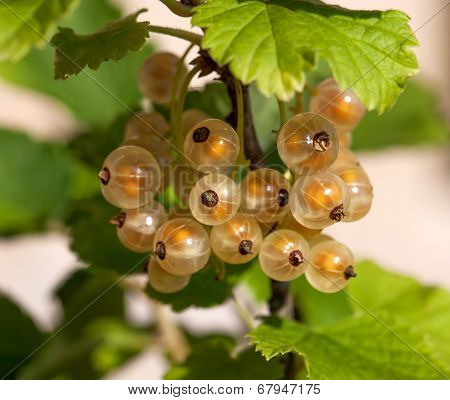Ripe White Currants In The Garden.