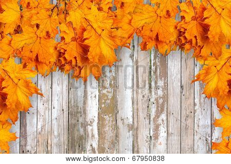 Bright Orange Autumn Leaves On The Background Of The Old Wooden Fence