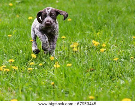 puppy running in the dandelions - german shorthaired pointer puppy