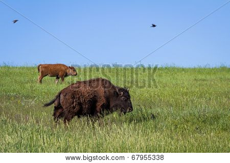 Bison In The Plains