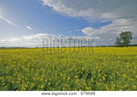 Canola Field And Blue Sky