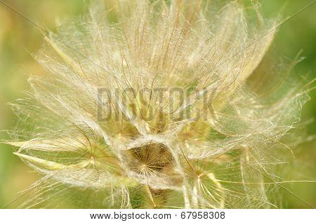 Big dandelion.