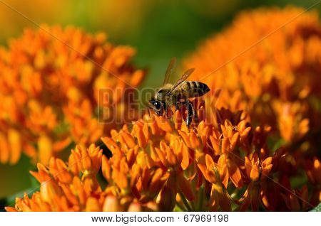 Butterfly Weed and Bee