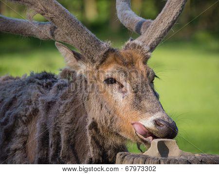 Father David's Deer