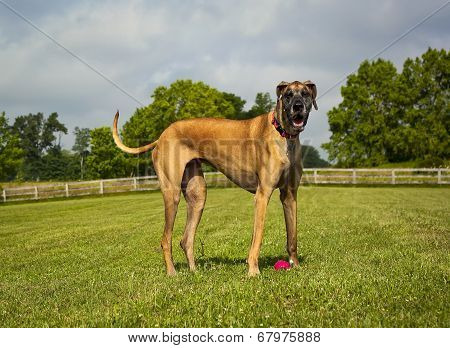 Great Dane in pasture