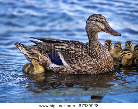 Mallard Duck (anas Platyrhynchos) And Her Ducklings