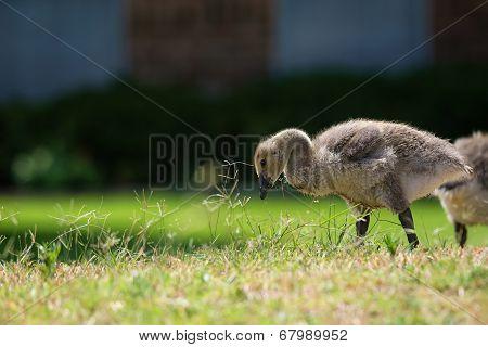 Canada Goose Gosling Feeding
