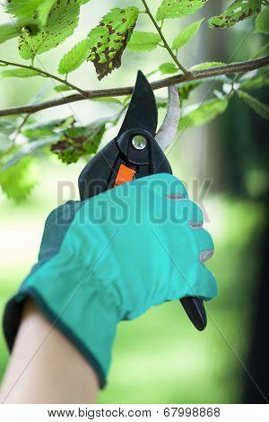 Gardener Uses Pruner In Garden