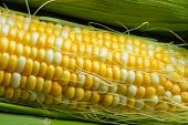stock photo of corn-silk  - Fresh corn on a cob with husk and silk - JPG