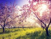 image of orchard  - Blossoming apple orchard in spring and blue sky - JPG