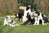 stock photo of bitches  - Bitch of Collie Smooth with its puppies lying in nice garden
