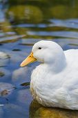 pic of duck pond  - portrait of a white farm duck near a pond on a sunny morning - JPG