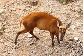 picture of black tail deer  - Picture of barking deer in Chiang Mai Zoo Thailand - JPG