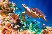stock photo of indian blue  - Hawksbill Turtle  - JPG