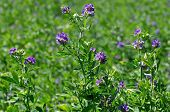 stock photo of alfalfa  - Alfalfa - JPG