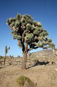 image of desert animal  - The Mighty and Majestic Joshua Tree stands tall and strong against the desert sun and heat in the Joshua Tree National Forest and Mohave Desert - JPG