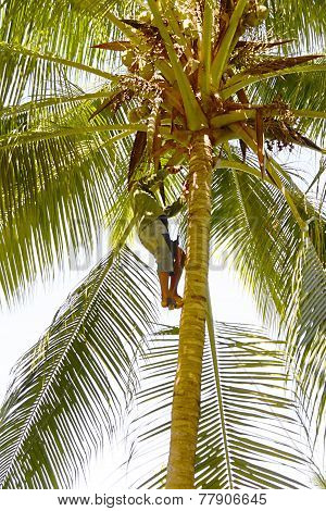 Man gathering coconuts near Baracoa, in eastern Cuba