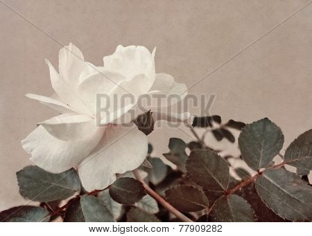 White Rose Vintage Style Photo