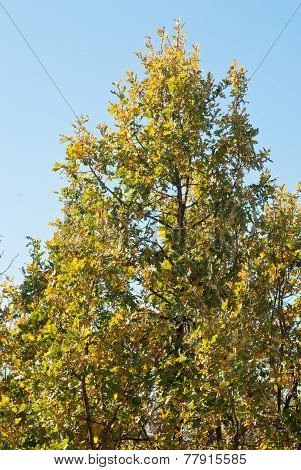 Green - Yellow  Branches Oak And Blue Sky