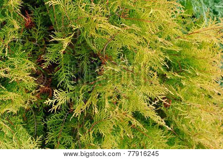 Cupressocyparis Leylandii Green Background