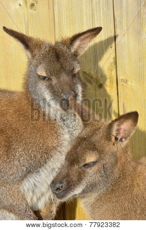 wallaby mother and baby