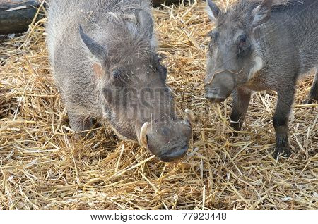 Mother and young warthog