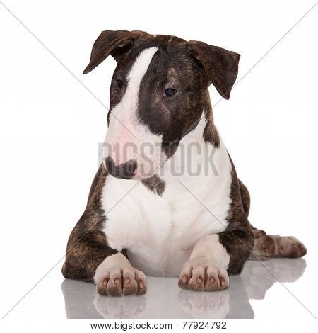 adorable brindle english bull terrier puppy