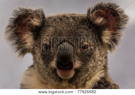 A close-up of a Koala in an Australian Koala Sanctuary
