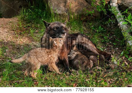 Black Wolf (canis Lupus) Feeds Her Pups - One Under Chin