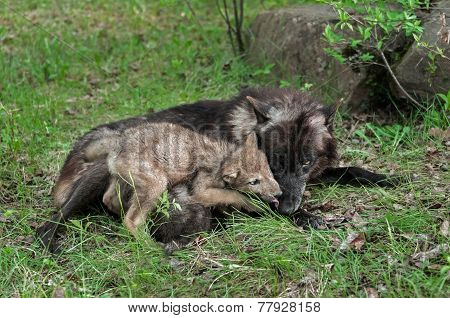 Grey Wolf Pup (canis Lupus) Licks Mother's Mouth