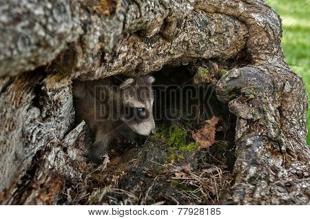 Baby Raccoon (procyon Lotor) Peeks Out Of Log