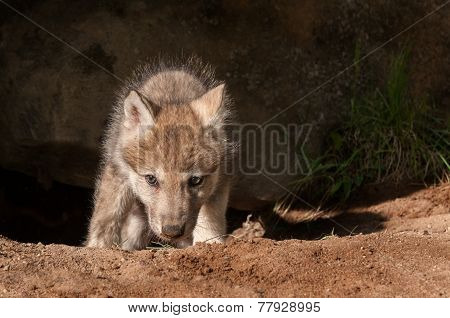 Grey Wolf (canis Lupus) Climbs Out Of Den