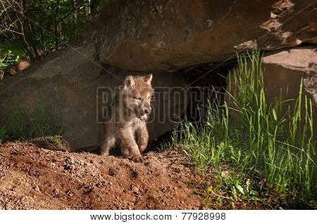 Grey Wolf (canis Lupus) Pup Emerges From Den Yawning