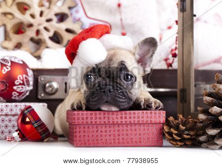 christmas dog - french bulldog wearing santa