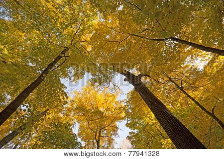 Looking Up Into A Yellow Canopy