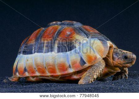 Bowsprit tortoise (Chersina angulata)