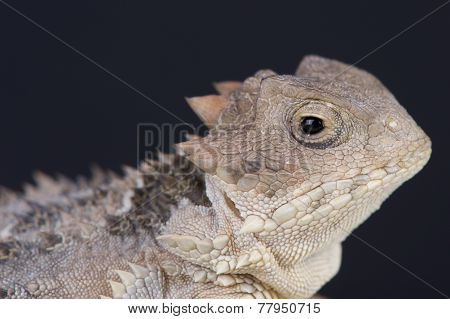 Mexican horned lizard / Phrynosoma orbiculare