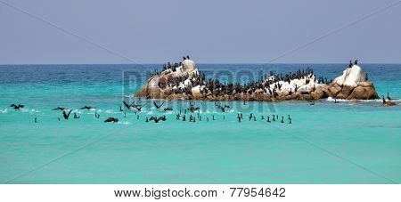Socotra cormorants on the sea rock, Socotra archipelago